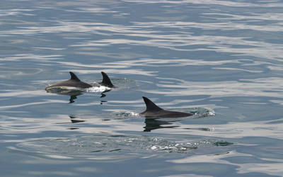 AWS Dolphins Surface by Shadow-and-Flame-86