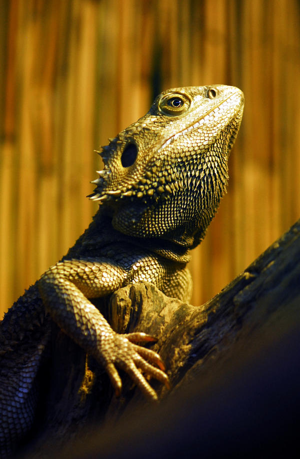 Bearded Dragon by Shadow-and-Flame-86