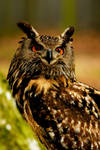 Eagle Owl in the Woods