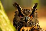 Eagle Owl - I See You