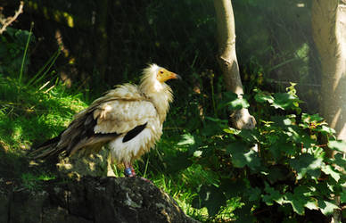 Egyptian Vulture by Shadow-and-Flame-86