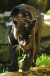 Grumpy Jaguar