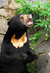 Sun Bear - Sniffin out Treats