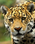 Jaguar Gaze