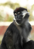 Cherry Crowned Mangabey by Shadow-and-Flame-86