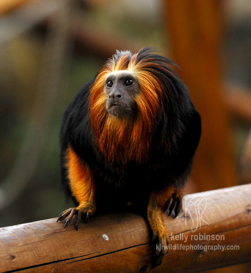 Endangered rainforest animals wallpaper - Golden Headed Lion Tamarin By Shadow And Flame 86 On