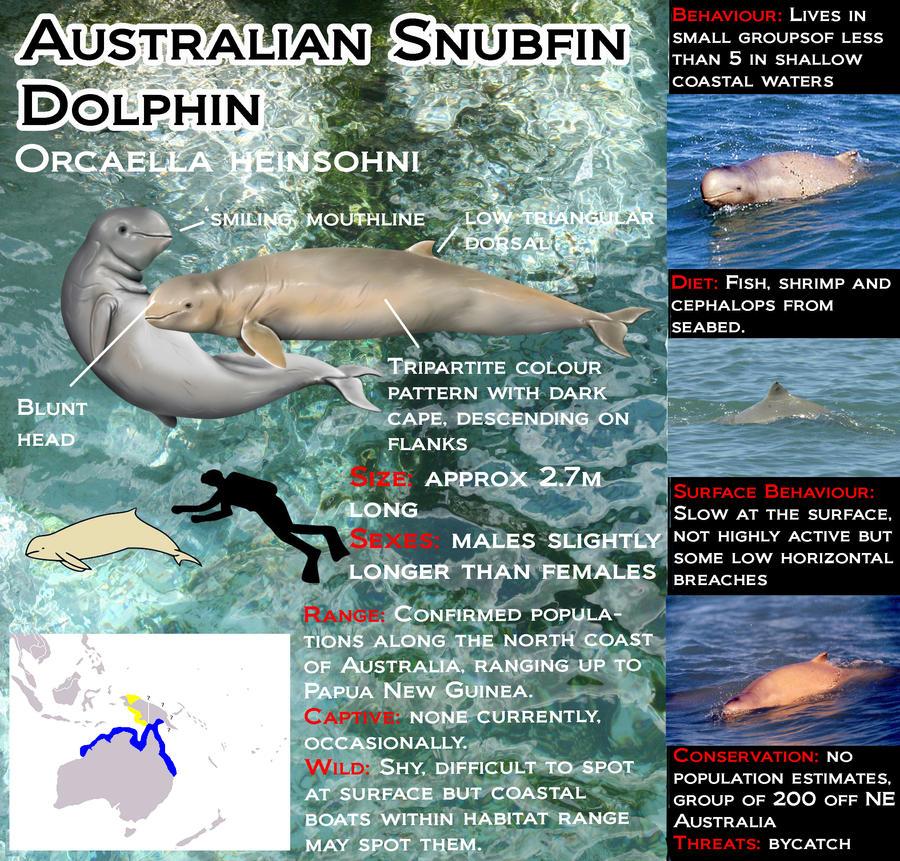 Australian snubfin dolphin - photo#27