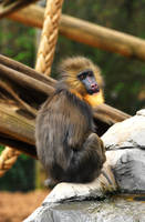 Young Mandrill by Shadow-and-Flame-86