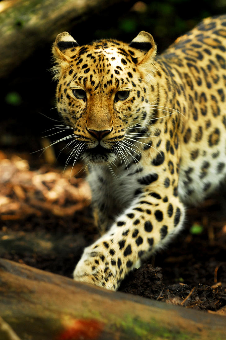 Amur Leopard - Criss Cross by Shadow-and-Flame-86