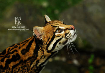 Ocelot Up by Shadow-and-Flame-86