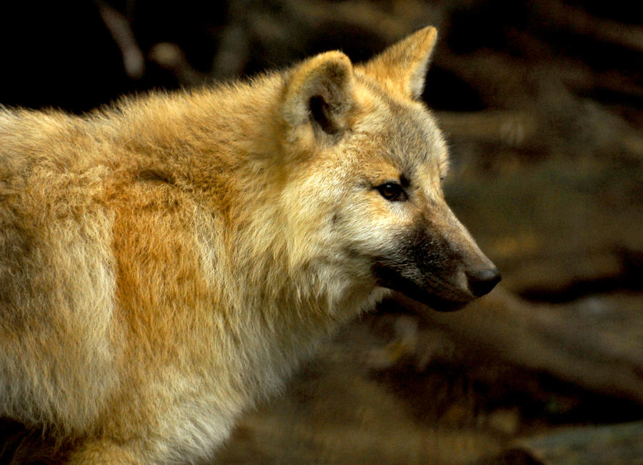 young_arctic_wolf_by_shadow_and_flame_86