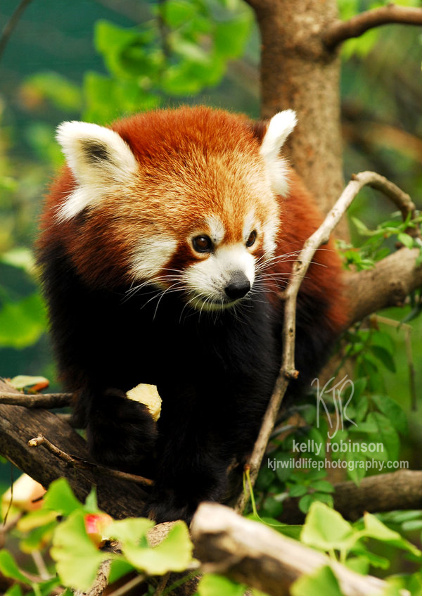 Red Panda Portrait by Shadow-and-Flame-86