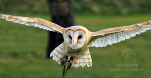 Barn Owl Approach