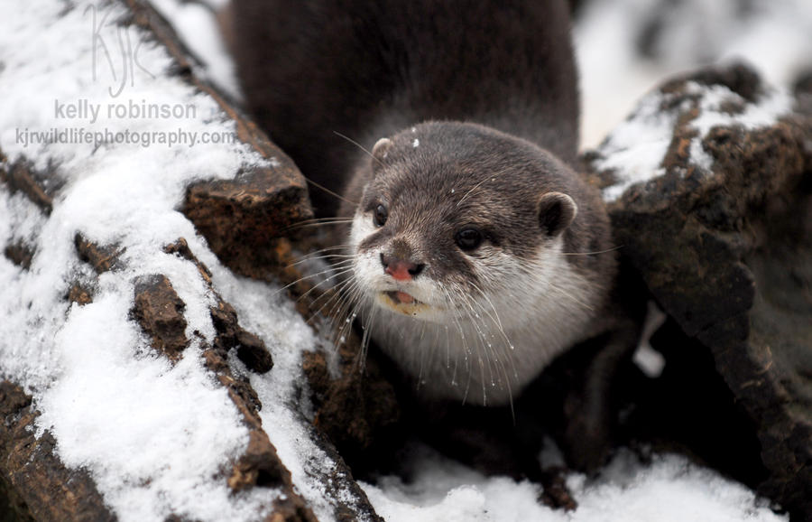 Snow Otter by Shadow-and-Flame-86