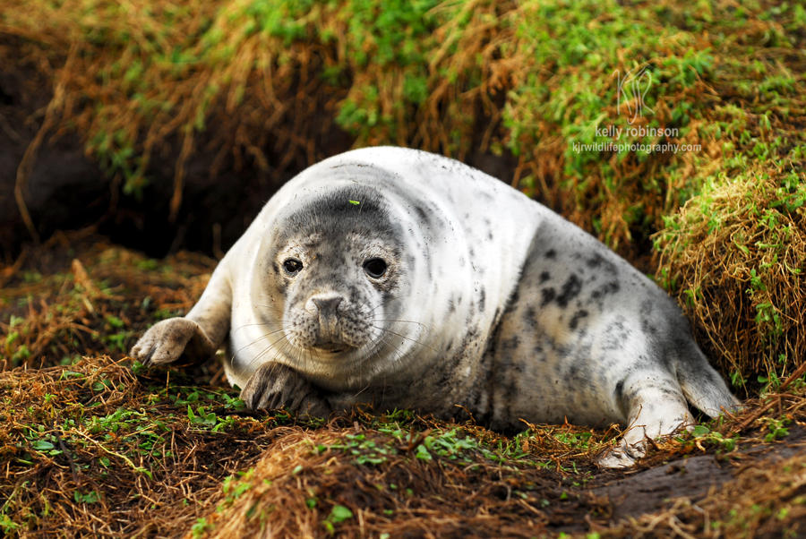Grey Seal Weaner by Shadow-and-Flame-86