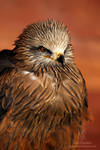 Black Kite Portrait by Shadow-and-Flame-86
