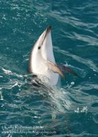Dusky Dolphin Skyhop