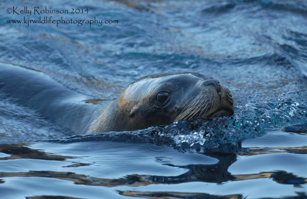 Sea Lion Swimming Wallpaper