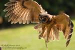 Wood Owl Flight