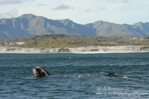 Southern Right Whale Gymnastics