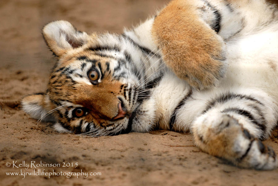 Amur Tiger Cub by Shadow-and-Flame-86