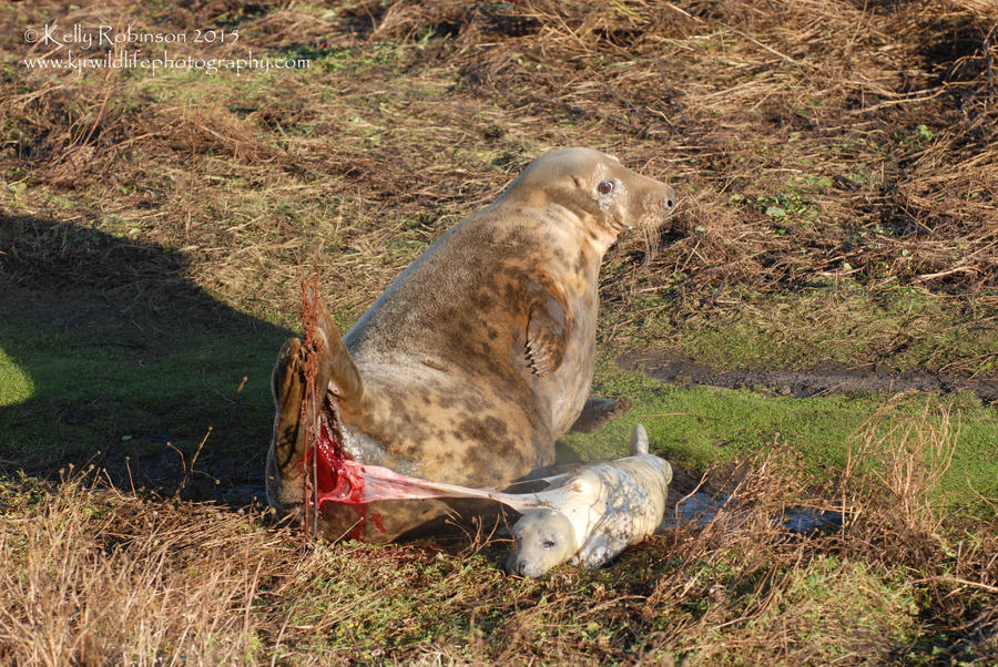 Grey Seal Birth by Shadow-and-Flame-86