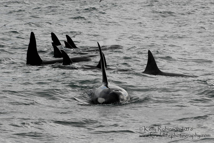 Icelandic Orca Family by Shadow-and-Flame-86