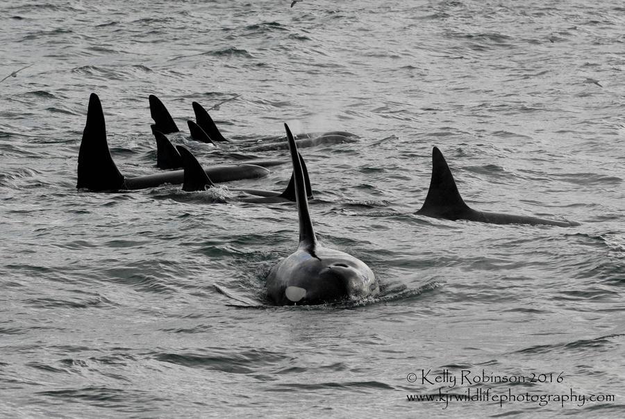 Icelandic Orca Family