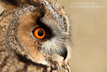 Long Eared Owl Up Close