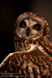 Short Eared Owl Up Close