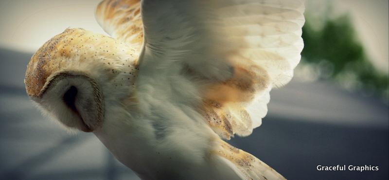 Barn Owl 1 by Kristy-Kitty