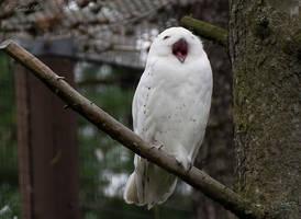 Bird Yawn by Enalla