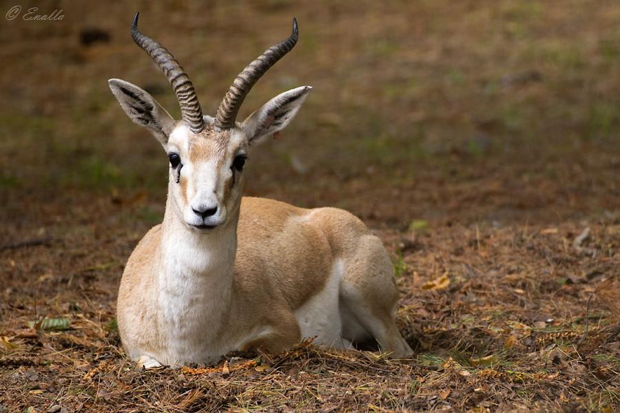 Persian Gazelle by Enalla