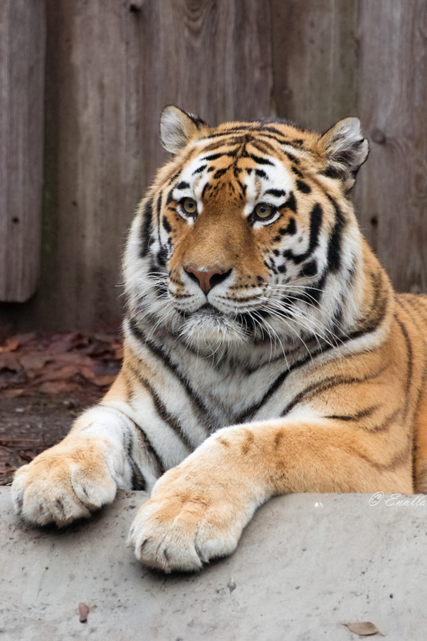 Tiger Portrait by Enalla