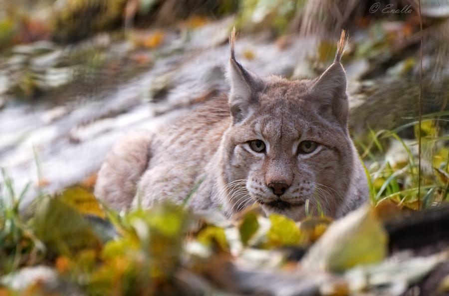 Autumn Lynx by Enalla