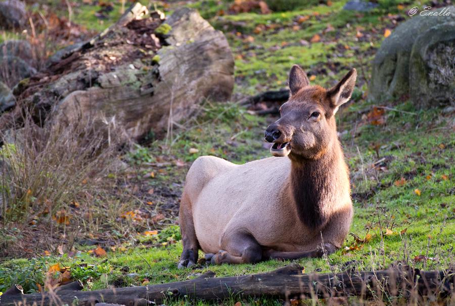 Happy Elk by Enalla
