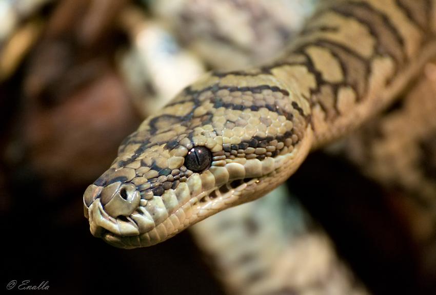 Python by Enalla