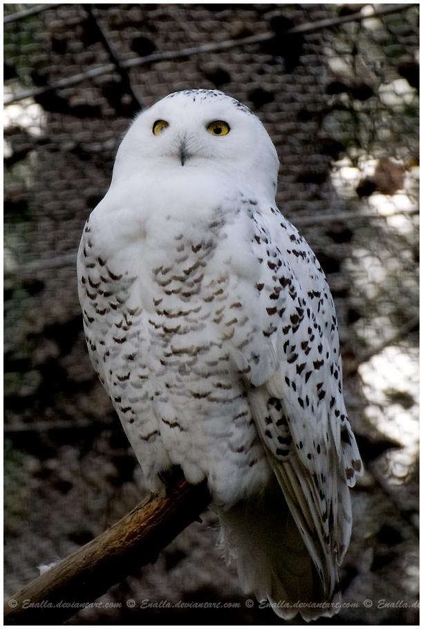 Snowy Owl by Enalla