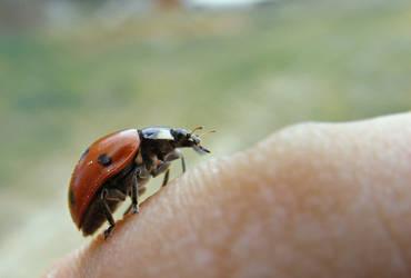 ladybug by goerf