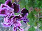 Velvert Flower by Akienet