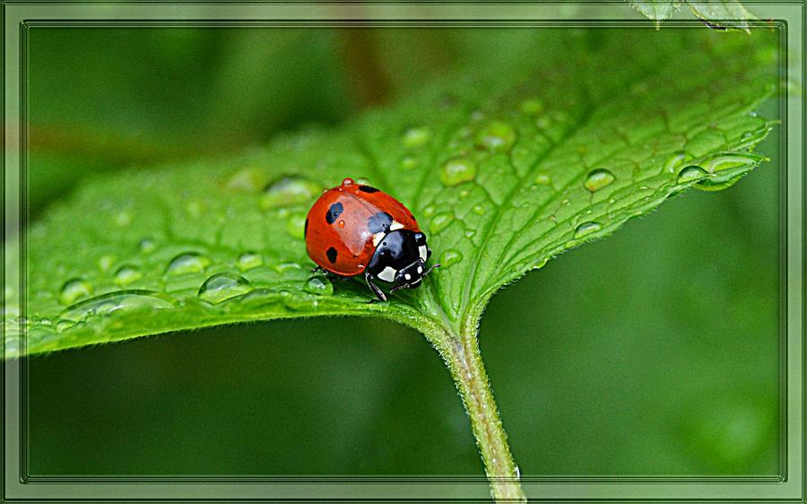 Sweet Ladybug by FrankAndCarySTOCK
