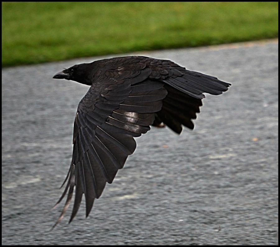 Crow by FrankAndCarySTOCK