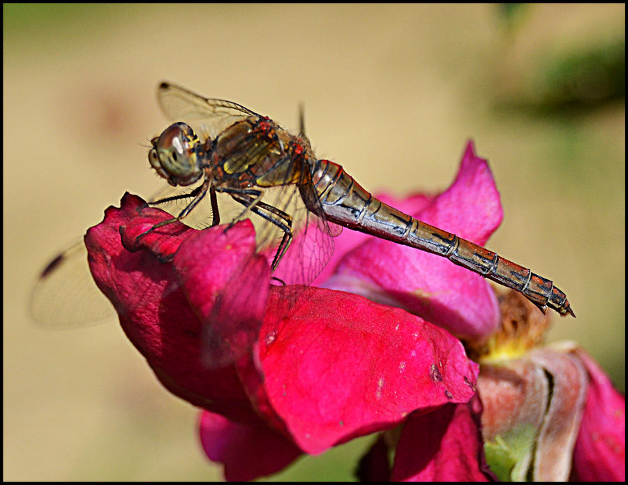Dragonfly by FrankAndCarySTOCK