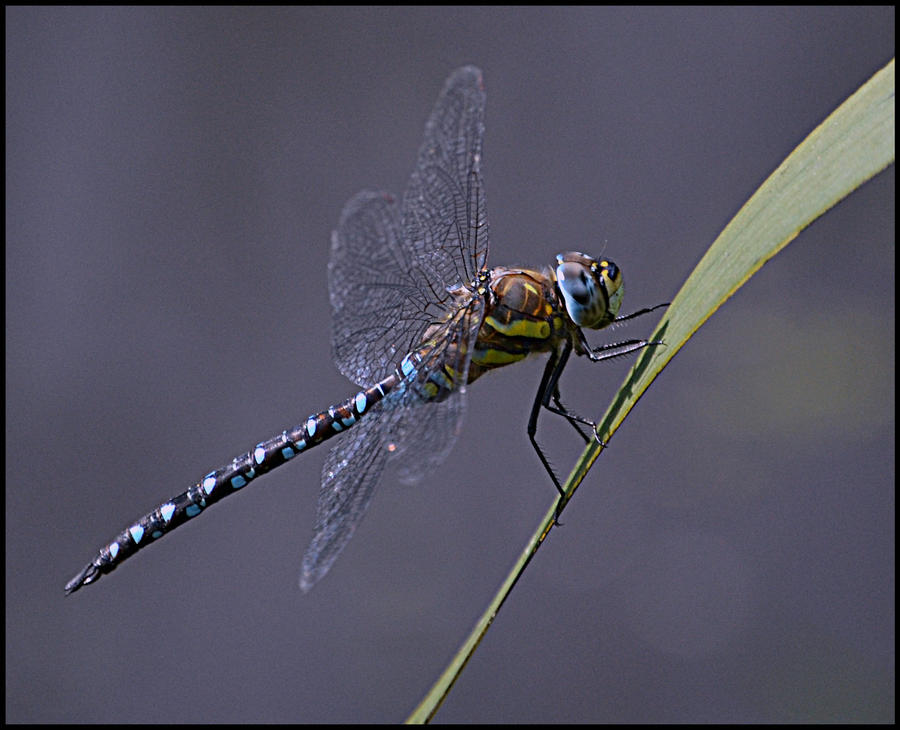 Dragonfly1 by FrankAndCarySTOCK