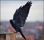 Jackdaw Wings