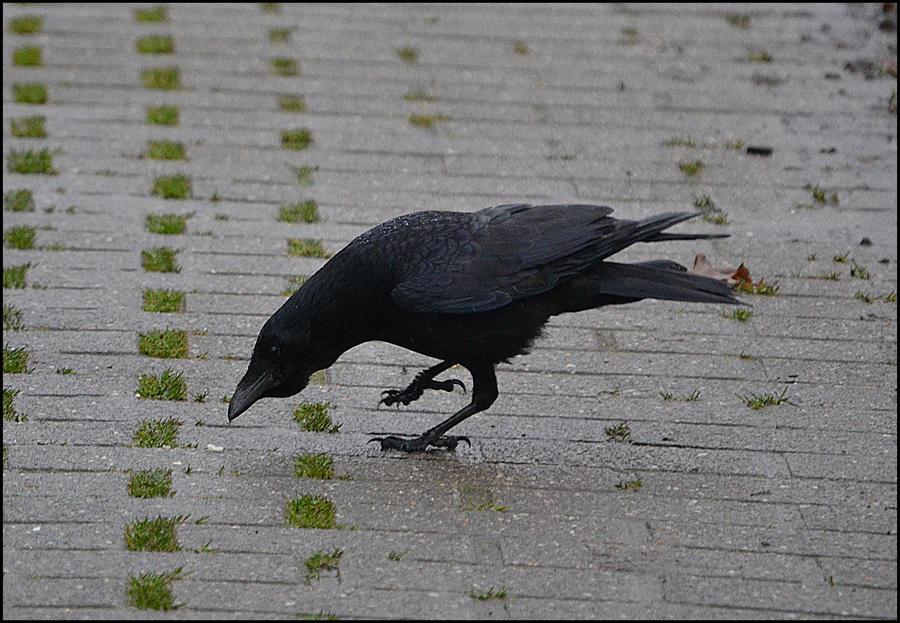 Crow1 by FrankAndCarySTOCK