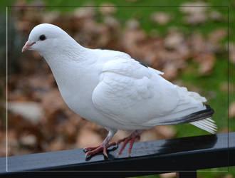 A Bird of Peace by FrankAndCarySTOCK
