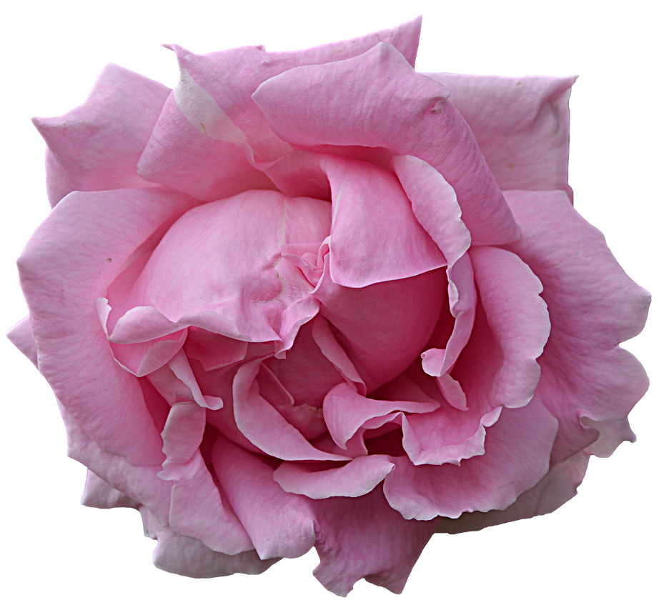 Pink flower by FrankAndCarySTOCK
