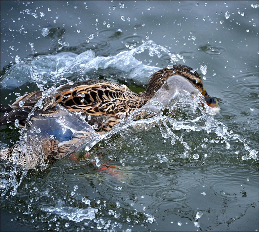 Splash by FrankAndCarySTOCK