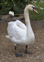 Swan by FrankAndCarySTOCK